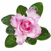 Постер, плакат: Розовая азалия изолированные на белом