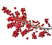 branch holly with red berries  isolated on white