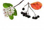 Black ashberry/ Black rowan /Black chokeberry (Aronia melanocarpa)