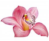 stock photo of yellow orchid  - pink Orchid flower on white background - JPG