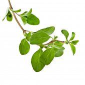 Marjoram Herb (origanum majorana ) isolated on white
