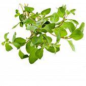 picture of origanum majorana  - Marjoram Herb  - JPG