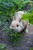 Rabbit Chewing Fennel In Garden