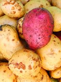 Newly harvested potatoes ( Solanum tuberosum )