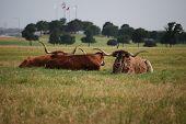 Relaxing Longhorn Steers