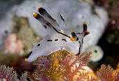 Painted Thecacera Nudibranch in Lembeh Straits