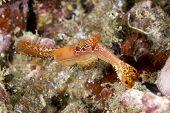 Palaemonid Shrimp in Lembeh Straits