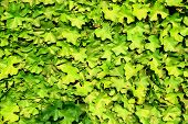 Wall Of Leaves
