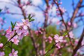 Closeup Of Peach Blossom In Full Bloom. Beautiful Pink Peach Blossom On Green Garden. Rose And Pink  poster