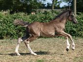Welsh Foal