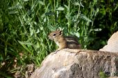 Cute Chipmunk On A Rock