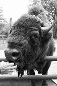 Its A Zoo In Here. Bison Or Wisent Animal In Petting Zoo. Human Hand Feeding Wild Bison In Zoo Outdo poster