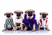 four dressed mops puppy dogs sitting on a white background and looking to the camera