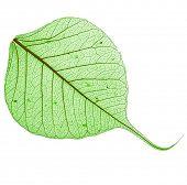 green leaf bodhi , macro, isolated on white