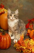 Calico Kitten And Pumpkins