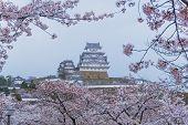 Himeji Castle With Sakura Blooming Season poster