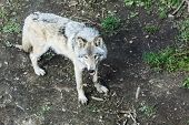 Real Gray Wolf Running, In The Forest Background. Close To Wolf In Natural Environment. Close Up Por poster