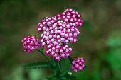 Two Flies On Top Of Common Yarrow Or Achillea Millefolium Or Plumajillo Or Herbal Militaris Or Gorda poster