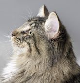 Retrato de gato bosque de Noruega