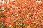 Autumn Garden Beauty. Leaves Turn Red In Garden. Ornamental Garden Plant With Red Colored Leaves. De poster