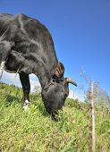 The Portrait Of Cow On Grazing On A Field. Young Black Calf Or Cow Eating Grass. Curious Amusing Cow poster