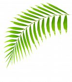 Fresh palm tree branch isolated over white background with text space, plant of tropical beach,  gre