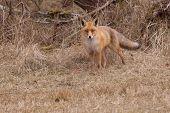 A fox in it's natural habitat