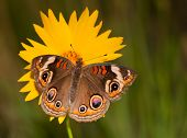 Colorful Common Buckeye butterfly, Junonia coenia, on a yellow Coreopsis flower on a late spring evening