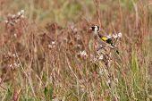 Male goldfinch in a field
