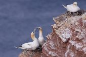 Gannet couple on their nest on a cliff