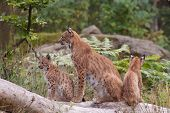 Eurasian lynx (Lynx lynx) with cubs