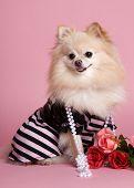 Pretty Pomeranian In Pink