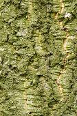 Bark Of Quercus Suber, Cork Oak Tree