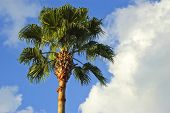foto of washingtonia  - Low angle view of a palm tree with cloudy background