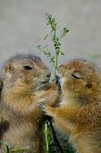 Prairie dogs eating plants happily