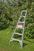 A basket of apples on a ladder in an apple orchard.