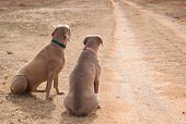 Two dogs waiting by a driveway for someone to come home; looking up the road, missing their people