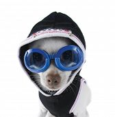 pic of chihuahua mix  - a tiny white chihuahua with goggles and a hoodie on - JPG