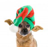 foto of chihuahua mix  - a chihuahua mix dressed up as an elf - JPG