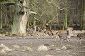 Old Tree And Fallow Deers