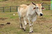 Five Legged Legs Cow