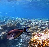 Tropical Sohal Surgeonfish In The Red Sea , Egypt