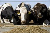 Cows At A Feeding Trough