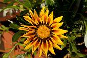 Beautiful Gazania Flower in Garden, Close up