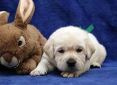 Yellow Labrador Puppy On The Toy Rabbit