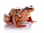 image of pet frog  - Common frog - JPG