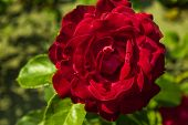 image of garden eden  - red rose in a garden of Amsterdam