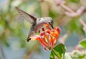 stock photo of honeysuckle  - Annas Hummingbird in flight - JPG