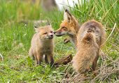Red Fox Family - Yellowstone National Park