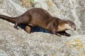 River Otter, Victoria, Canada